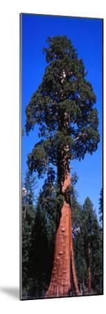 Giant Sequoia Stands Tall-Jeff Foott-Mounted Photographic Print