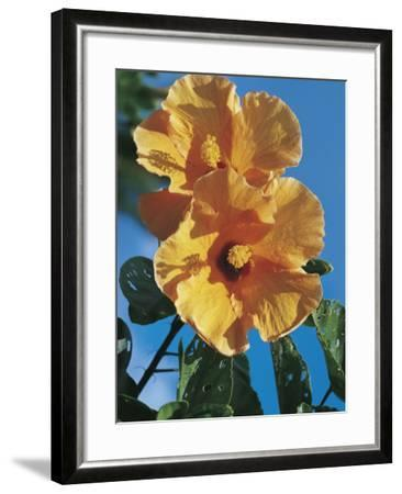 Close-Up of a Chinese Hibiscus Flower (Hibiscus Rosa-Sinensis)-C^ Dani I^ Jeske-Framed Photographic Print