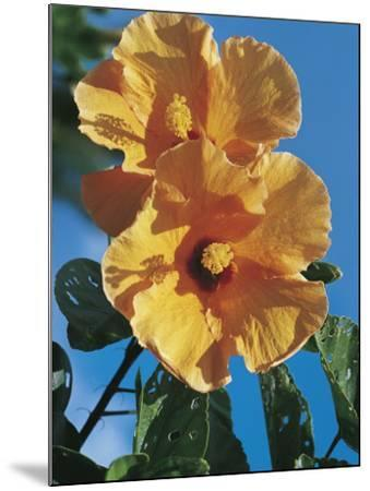 Close-Up of a Chinese Hibiscus Flower (Hibiscus Rosa-Sinensis)-C^ Dani I^ Jeske-Mounted Photographic Print