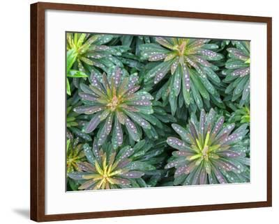 Water Drops on Plant with Spirally Arranged Leaves-Andrew Castellano-Framed Photographic Print