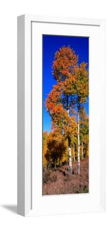 Aspens in Beautiful Autumn Color-Jeff Foott-Framed Photographic Print