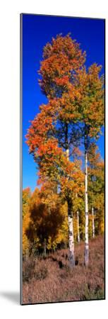 Aspens in Beautiful Autumn Color-Jeff Foott-Mounted Photographic Print
