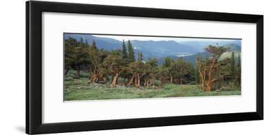 Usa, Colorado, Bristlecone Pine Tree on the Landscape-Jeff Foott-Framed Photographic Print
