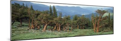 Usa, Colorado, Bristlecone Pine Tree on the Landscape-Jeff Foott-Mounted Photographic Print