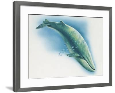 Close-Up of a Blue Whale Swimming Underwater (Balaenoptera Musculus)--Framed Photographic Print