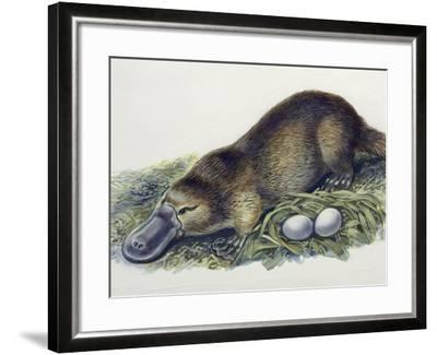 Close-Up of a Female Duck-Billed Platypus with Two Eggs (Ornithorhynchus Anatinus)--Framed Photographic Print