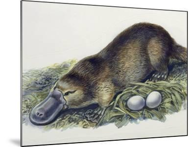 Close-Up of a Female Duck-Billed Platypus with Two Eggs (Ornithorhynchus Anatinus)--Mounted Photographic Print