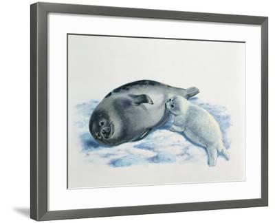 Close-Up of a Female Harp Seal Feeding its Cub (Phoca Groenlandica)--Framed Photographic Print