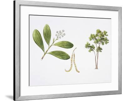 Hickory Wattle (Acacia Mangium) Plant with Flower, Leaf and Fruit, Illustration--Framed Photographic Print