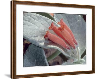 Close-Up of Rechsteineria Leucotricha Flowers-C^ Dani-Framed Photographic Print