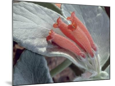 Close-Up of Rechsteineria Leucotricha Flowers-C^ Dani-Mounted Photographic Print