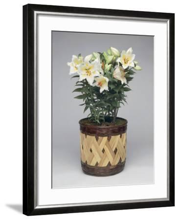 Close-Up of Nicotiana Plants in a Pot-G^ Cigolini-Framed Photographic Print