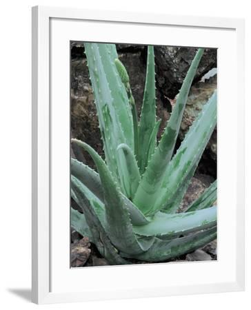 Close-Up of an Aloe Barbadensis Miller Plant-C^ Dani-Framed Photographic Print