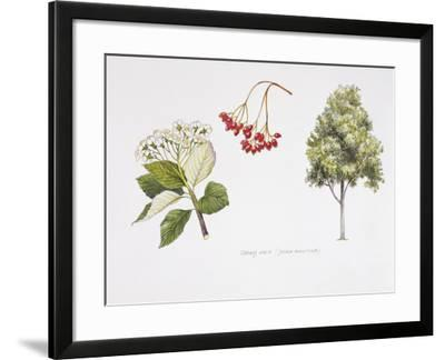Whitebeam (Sorbus Aria ) Plant with Flower, Foliage and Fruit, Illustration--Framed Photographic Print