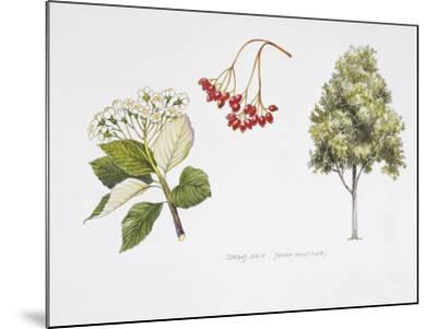 Whitebeam (Sorbus Aria ) Plant with Flower, Foliage and Fruit, Illustration--Mounted Photographic Print