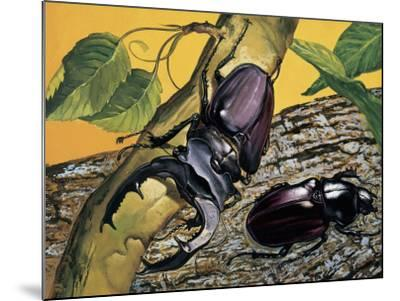 Close-Up of Two Stag Beetles (Lucanus Cervus)--Mounted Photographic Print