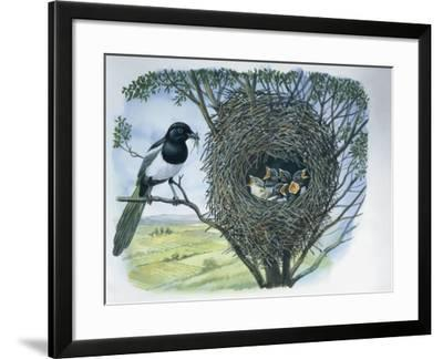 Close-Up of an Australian Magpie Holding an Insect for its Youngs--Framed Photographic Print