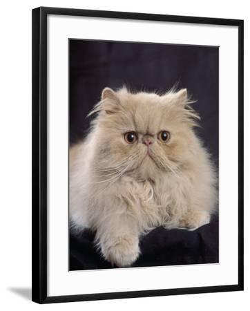 Close-Up of a Cream Persian Cat-D^ Robotti-Framed Photographic Print