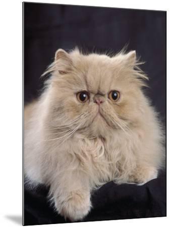 Close-Up of a Cream Persian Cat-D^ Robotti-Mounted Photographic Print