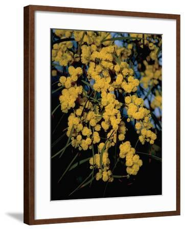 Close-Up of Flowers on Silver Wattle Tree (Acacia Dealbata)-R^ Carnovalini-Framed Photographic Print