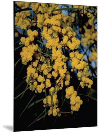Close-Up of Flowers on Silver Wattle Tree (Acacia Dealbata)-R^ Carnovalini-Mounted Photographic Print