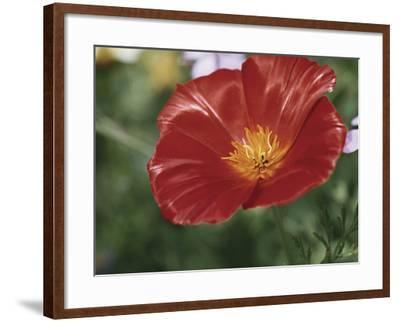 Close-Up of a California Poppy Flower (Eschscholzia Californica)-A^ Moreschi-Framed Photographic Print
