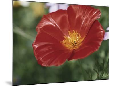 Close-Up of a California Poppy Flower (Eschscholzia Californica)-A^ Moreschi-Mounted Photographic Print