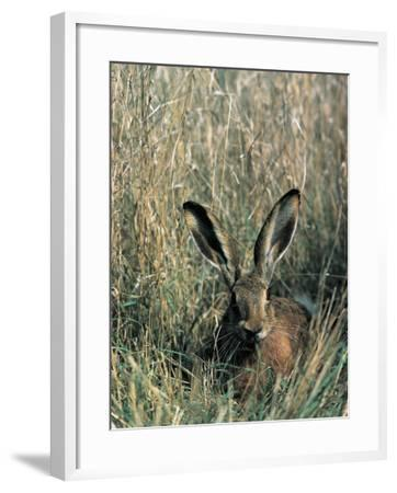 Close-Up of a Brown Hare in Tall Grass (Lepus Europaeus)--Framed Photographic Print