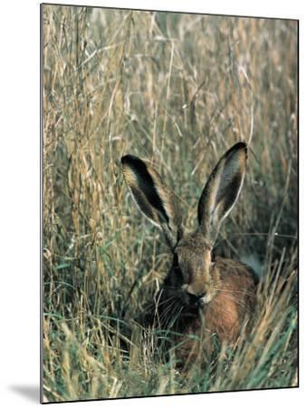 Close-Up of a Brown Hare in Tall Grass (Lepus Europaeus)--Mounted Photographic Print