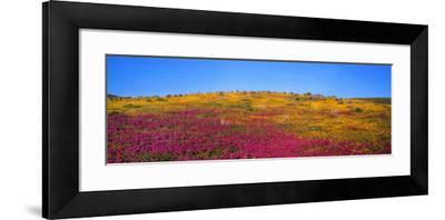 California Poppy, Owl's Clover, and Goldfields in Bloom in a Field-Jeff Foott-Framed Photographic Print