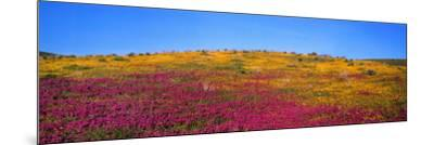 California Poppy, Owl's Clover, and Goldfields in Bloom in a Field-Jeff Foott-Mounted Photographic Print