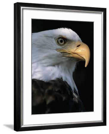 Close-Up of a Bald Eagle, Alaska, Usa (Haliaeetus Leucocephalus)-M^ Santini-Framed Photographic Print