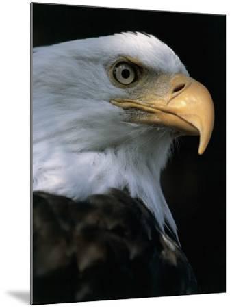 Close-Up of a Bald Eagle, Alaska, Usa (Haliaeetus Leucocephalus)-M^ Santini-Mounted Photographic Print