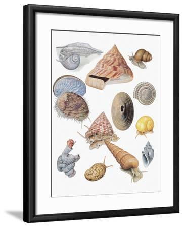 Close-Up of a Group of Astropoda Molluscs--Framed Photographic Print