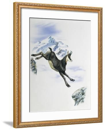 Side Profile of a Male Chamois Jumping on Rocks (Rupicapra Rupicapra)--Framed Photographic Print