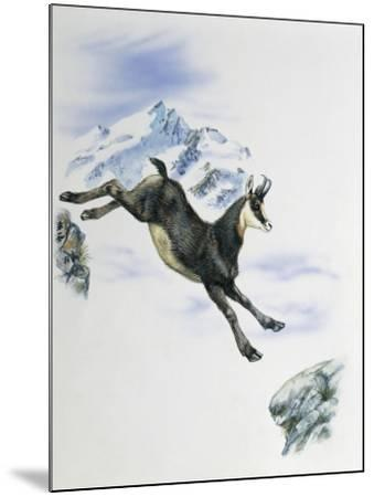 Side Profile of a Male Chamois Jumping on Rocks (Rupicapra Rupicapra)--Mounted Photographic Print