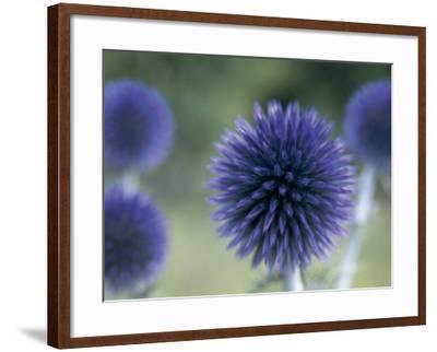 Close-Up of a Sea Holly Flower (Eryngium Maritimum)-V^ Giannella-Framed Photographic Print