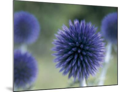 Close-Up of a Sea Holly Flower (Eryngium Maritimum)-V^ Giannella-Mounted Photographic Print