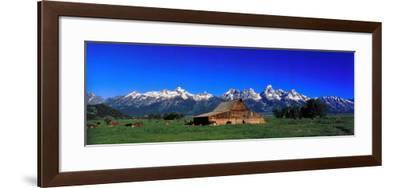 Cattle Gather Near Old Barn on Grand Teton Range in the Spring-Jeff Foott-Framed Photographic Print