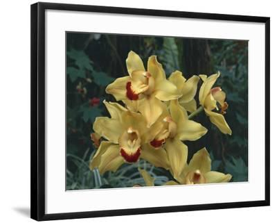 Close-Up of Cymbidium Hybrid Orchid Flowers-C^ Sappa-Framed Photographic Print
