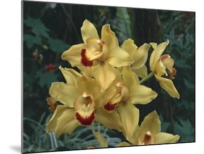 Close-Up of Cymbidium Hybrid Orchid Flowers-C^ Sappa-Mounted Photographic Print