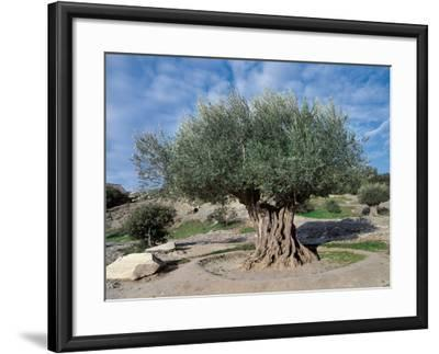 Olive Tree in the Forest (Olea Europaea)-C^ Sappa-Framed Photographic Print