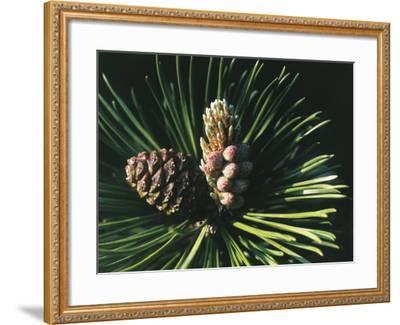 Close-Up of a Mugo Pine Tree (Pinus Mugo)-C^ Sappa-Framed Photographic Print