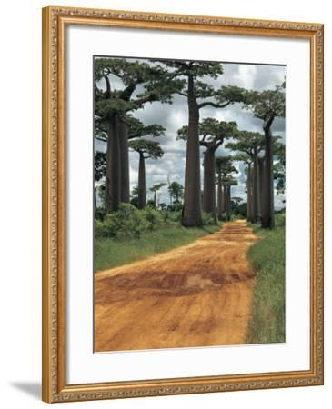 Baobab Trees Along a Dirt Road, Morondava, Madagascar (Adansonia Madagascariensis)--Framed Photographic Print