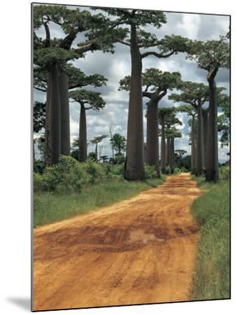 Baobab Trees Along a Dirt Road, Morondava, Madagascar (Adansonia Madagascariensis)--Mounted Photographic Print