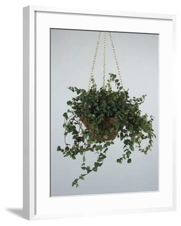 Close-Up of a Climbing Fig Plant Hanging (Ficus Pumila)-C^ Dani-Framed Photographic Print