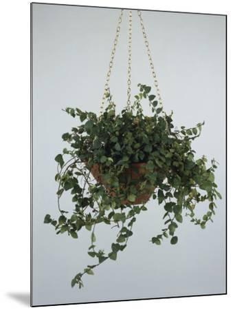 Close-Up of a Climbing Fig Plant Hanging (Ficus Pumila)-C^ Dani-Mounted Photographic Print