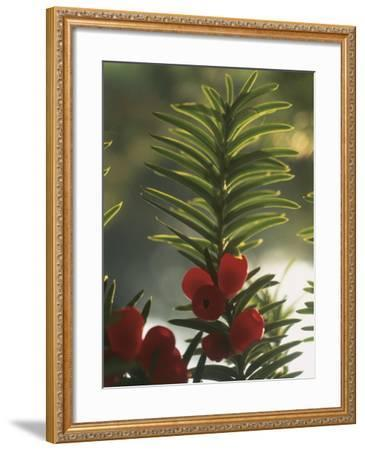 Close-Up of the Fruit of a Yew Tree (Taxus Baccata)-C^ Sappa-Framed Photographic Print