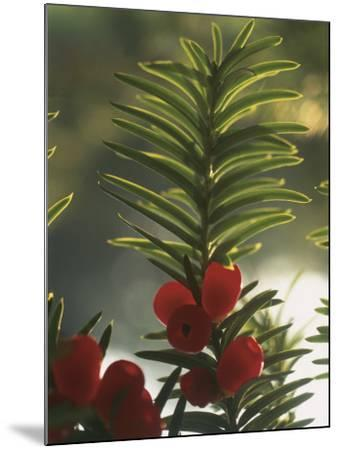 Close-Up of the Fruit of a Yew Tree (Taxus Baccata)-C^ Sappa-Mounted Photographic Print