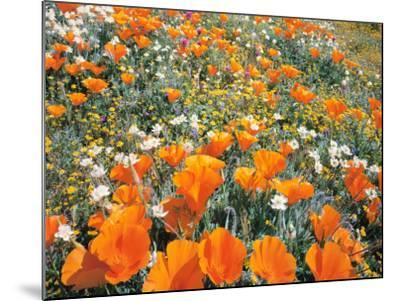 Detail of Field of California Poppy, Cream Cup and Goldfield Flowers-Jeff Foott-Mounted Photographic Print